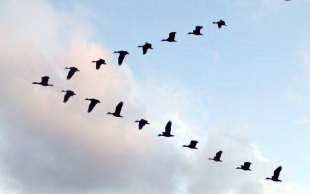 Vortex Surfing: How Ducks Can Save the USAF Millions of Dollars